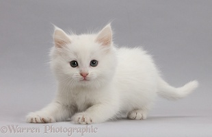 Playful white kitten on grey background