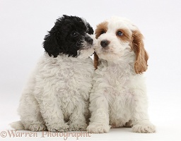 Toy labradoodle puppy with Cockapoo puppy