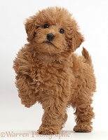 Red Toy labradoodle puppy standing with paw raised