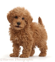 Red Toy labradoodle puppy standing