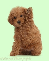 Red Toy labradoodle puppy waving