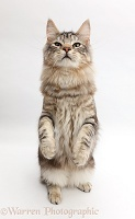 Silver tabby fluffy cat standing up