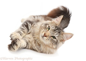 Silver tabby fluffy cat rolling on side