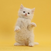 White kitten standing up on yellow background