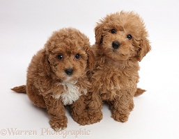 Red Toy labradoodle puppies