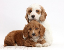 Two Red-and-white Cockapoo puppies