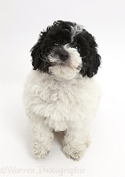 Black-and-white Toy labradoodle puppy