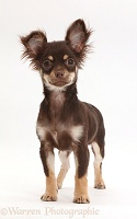 Chocolate-and-tan Chihuahua standing