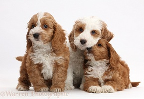 Three Red-and-white Cockapoo puppies