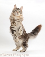 Silver tabby cat, standing up on hind legs