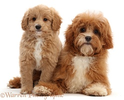 Puppy and adult Cavapoos