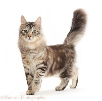 Silver tabby cat, walking