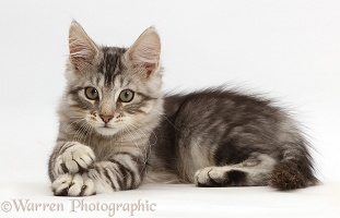 Kitten lying with crossed paws