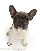 Blue-and-white French Bulldog