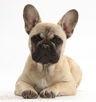 French Bulldog sitting