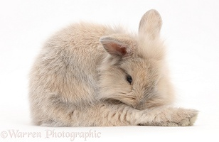 Young rabbit grooming a hind leg