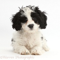 Black-and-white Cavapoo puppy