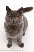 Blue British Shorthair cat sitting looking up