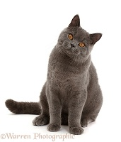 Blue British Shorthair cat sitting