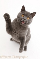 Blue British Shorthair cat sitting looking up with mouth open