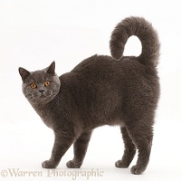 Blue British Shorthair cat standing with arched back