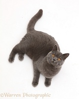 Blue British Shorthair cat lying looking up