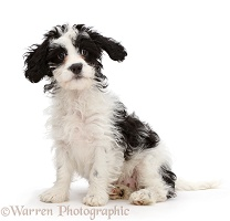 Black-and-white Cavapoo puppy looking surprised
