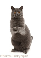 Blue British Shorthair cat begging