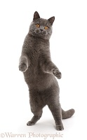 Blue British Shorthair cat standing up on hind legs
