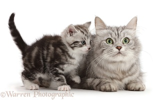 Silver tabby kitten, 4 weeks old, with his mother