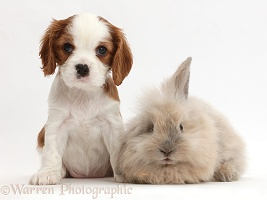 Cavalier puppy and fluffy bunny