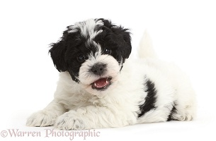 Playful black-and-white Cavapoo puppy