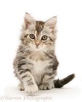 Tabby Maine Coon kitten sitting