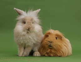 Beige bunny and ginger Guinea pig on green background