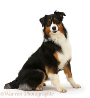 Australian Shepherd bitch sitting