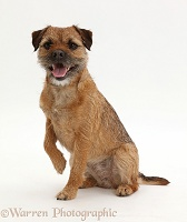 Border Terrier bitch sitting with raised paw