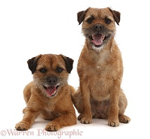 Border Terriers, sitting together