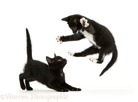 Kitten playfully leaping at his brother