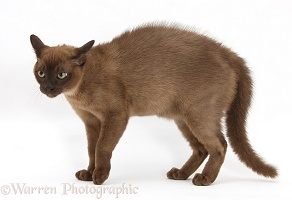 Young Burmese cat in fierce defensive posture