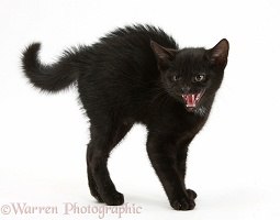 Black kitten frightened