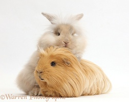 Beige fluffy bunny and ginger Guinea pig