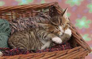 Sleepy tabby kitten in wool basket
