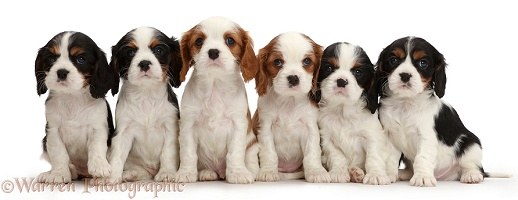Six Cavalier puppies sitting in a row