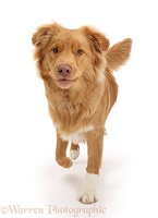 Nova Scotia Duck Tolling Retriever dog walking