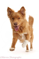 Nova Scotia Duck Tolling Retriever dog jumping