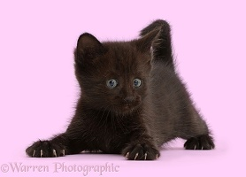Playful black kitten, 5 weeks old