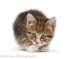 Tabby kitten crouched, ready to play
