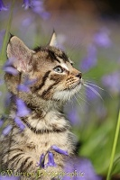 Tabby kitten among bluebells