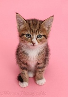 Tabby kitten sitting on pink background