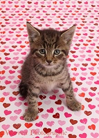 Tabby kitten sitting on pink heart background